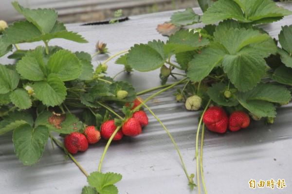 新竹縣關西鎮的草莓上市了,本月中過後就將進入盛產,但卻有農民苦惱草莓受到路燈光害,影響收成。(記者黃美珠攝)