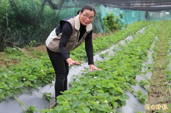 關西農友莊麗祺直言,她所種的草莓田因受路燈光害,葉子長得非常茂盛,花期卻因而延後,好像變成「觀葉」植物般,影響收成。(記者黃美珠攝)