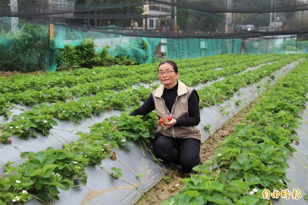 關西農友莊麗祺說,她的草莓田可以有5期花,但因路燈光害,導致10幾年來只有3期可以採收。(記者黃美珠攝)