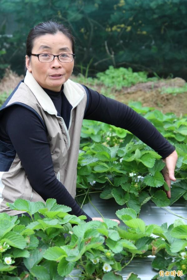 關西草莓農友莊麗祺用自己的手當量尺,讓大家初步看看,受到路燈光害影響的草莓葉子生長茂盛,如圖這麼高,但是花期卻比其他正常生長的草莓要晚報到。(記者黃美珠攝)