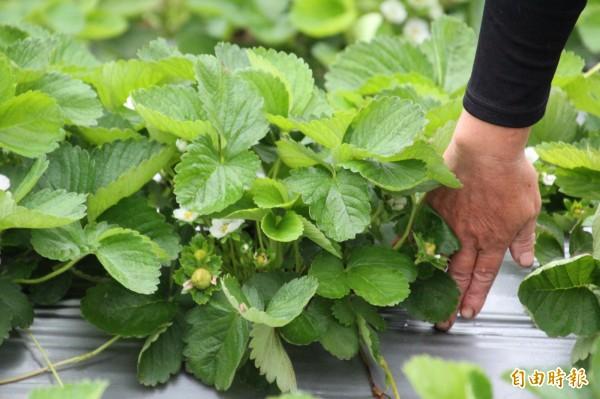 關西草莓農友莊麗祺同樣用自己的手當量尺,讓大家了解未受光害影響的草莓,葉片生長明顯較矮,明顯已經開花結果。(記者黃美珠攝)
