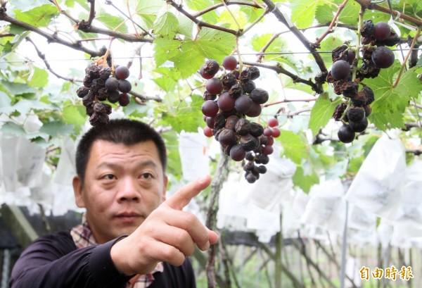 果農賴昶睿指著乾癟的葡萄說,50年來第一次遇到這種狀況。(記者陳冠備攝)