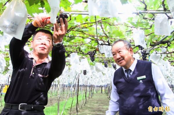 大村鄉農會總幹事廖瑞樺(右)說,今年葡萄冬果受氣候威脅,冬果生產產量減少約3成。(記者陳冠備攝)