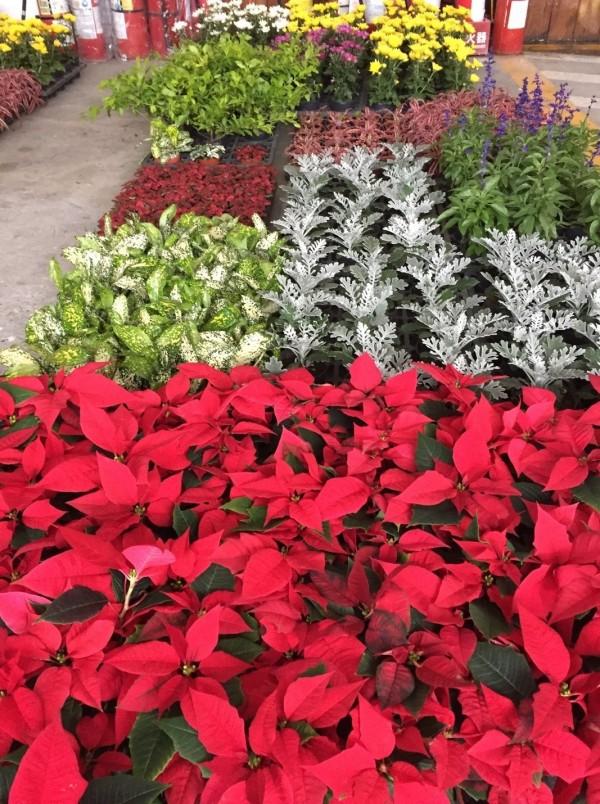 2017士林官邸菊花展現場,民眾參與活動可獲得多彩小品盆栽。(圖由台北市公園處提供)