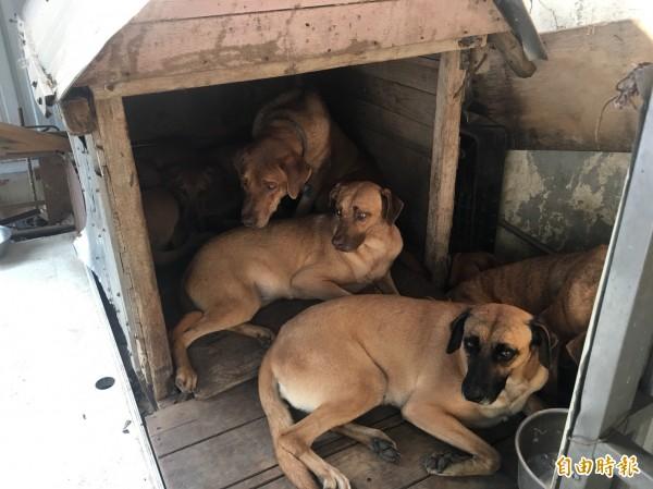 桃園市政府動物保護處介入餵養後,高山犬恢復健康體態。(記者陳昀攝)