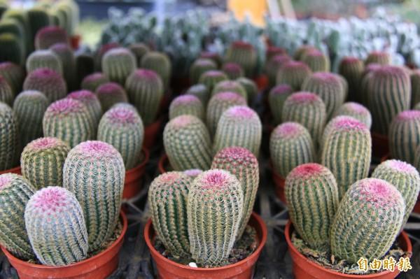 紫太陽小時候,外型跟一般多肉植物一樣很療癒。(記者陳冠備攝)