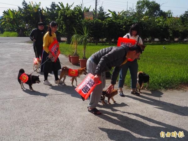 柴犬們揹著紅包,一起走進創世草屯分院。(記者陳鳳麗攝)