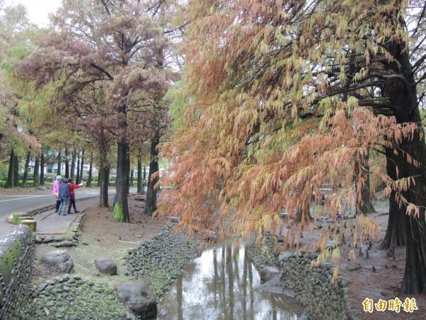 羅東運動公園落羽松區。(記者江志雄攝)