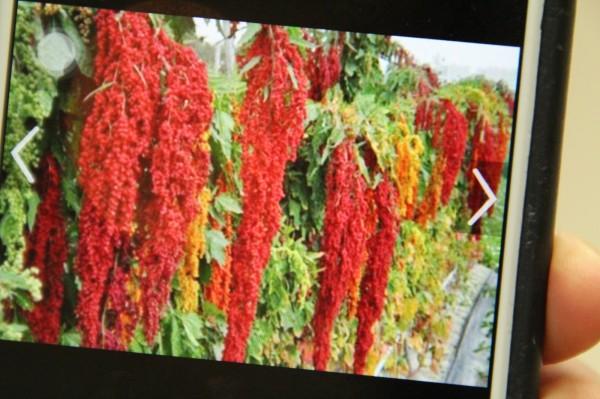 新埔鎮公所出示計畫中今年2月初紅藜麥「穗海」樣貌。(記者黃美珠翻攝)