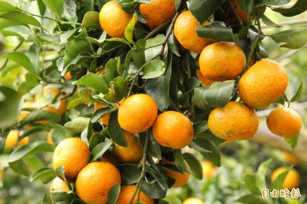 新竹縣的柑橘進入採收期,現在碰到大寒流,縣府農業處呼籲農民加強果園迎風面設置擋風設施,且考慮酌量增施鉀肥,增加植物的抗寒能力。(記者黃美珠攝)