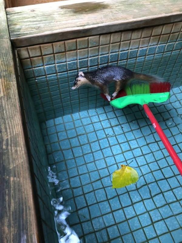 一隻鼬獾天冷想泡湯取暖,疑誤跳冷水池凍斃。(記者游太郎翻攝)