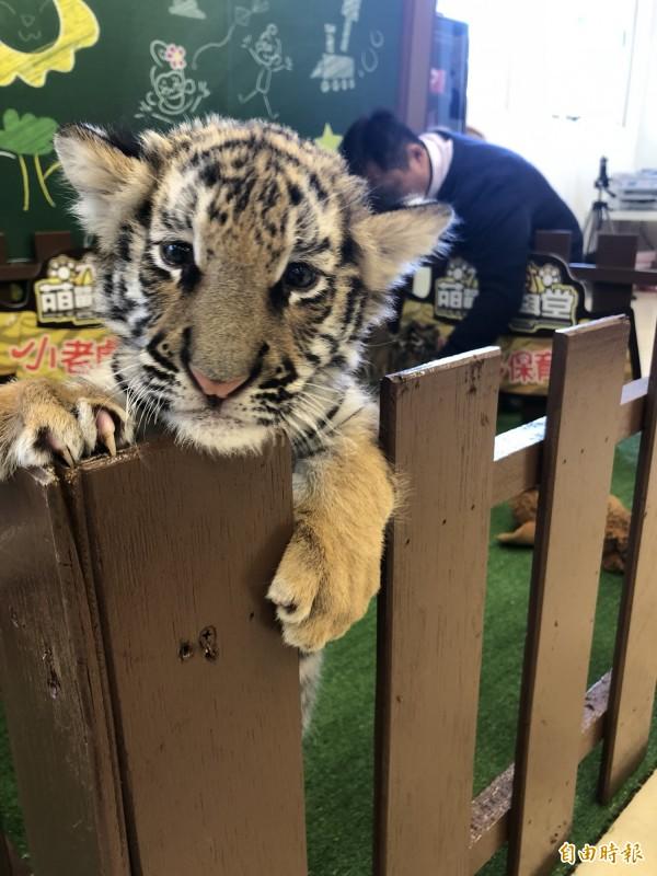 六福村主題遊樂園去年底新生的3隻孟加拉仔虎今天「出柙」見客啦!(記者黃美珠攝)