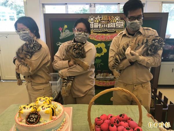 六福村主題遊樂園內的新生3仔虎今天慶生見客。(記者黃美珠攝)