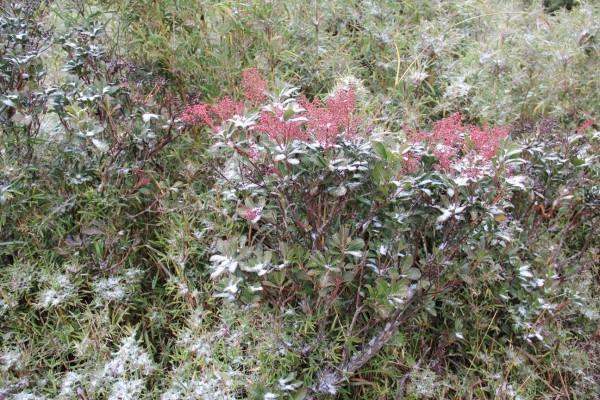 寒流發威,玉山塔塔加園區下起冰霰,植栽上都能看見殘留冰霰。(玉管處提供)