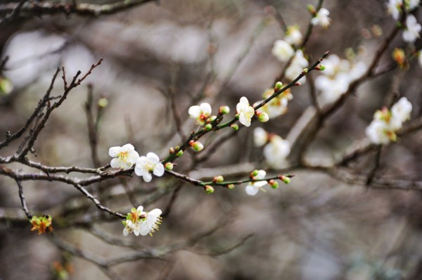 目前位於太魯閣文天祥公園及福園的梅樹朵朵白花開滿樹梢,另在天祥梅園中的四十多棵梅樹,則已蓄勢待發、含苞待放。 (馬姓讀者提供)