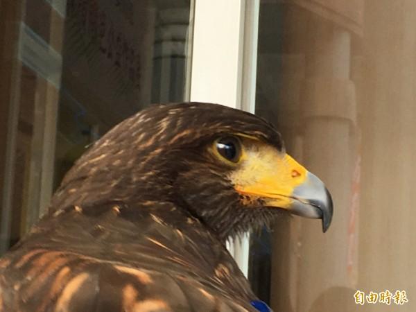 台灣鳥控驅鳥公司負責人邱詩敏說,栗翅鷹的視力是人類的7倍,可以清楚看到200公尺遠的目標,只要一被鷹眼鎖定,即難逃被收拾的命運。(記者顏宏駿攝)