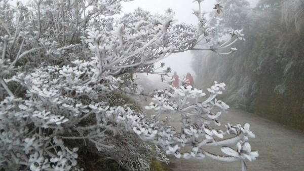 太平山今晚再度下雪,圖為白天的霧淞。(記者江志雄翻攝)