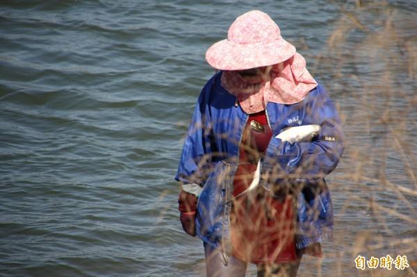 寒流造成虱目魚暴斃, 養殖戶忙著打撈。(記者林宜樟攝)