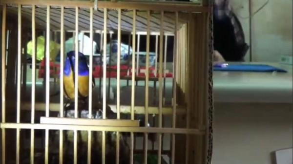 警方在鳥店查獲違法販賣保育鳥類,如第三級保育禽鳥黃腹琉璃。(記者劉濱銓翻攝)