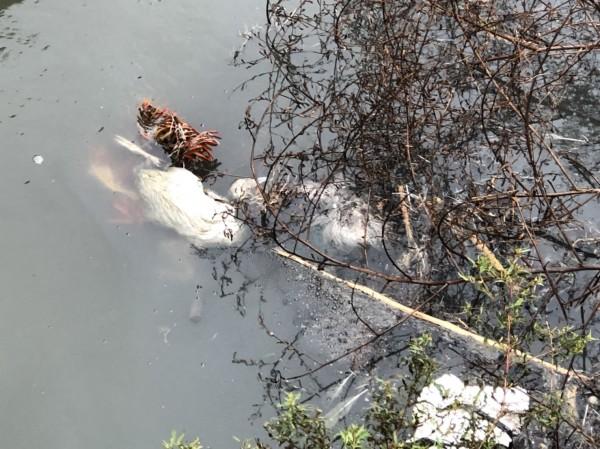 嘉義縣朴子市大槺榔中排棄置的鵝屍,確認為H5高病原性禽流感。(記者林宜樟翻攝)