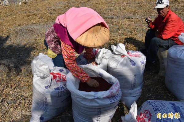 萬丹紅豆目前正值收成期,但是產量及價格卻是近年新低。(記者葉永騫攝)