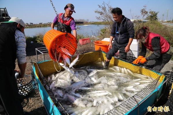 漁民忙著撈捕虱目魚,準備送往加工廠處理。(記者蔡宗勳攝)