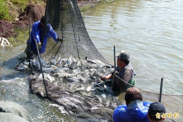 漁民冒著低溫捕撈虱目魚。(記者蔡宗勳攝)