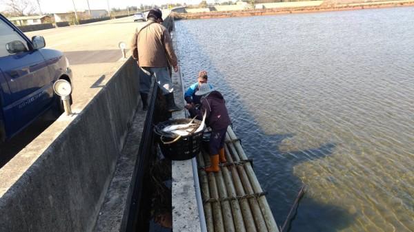 台南七股漁民搶收被凍昏的虱目魚。(圖由漁業署提供)