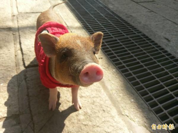 農場裡的小豬冬天還穿防寒毛衣。(記者黃文瑜攝)