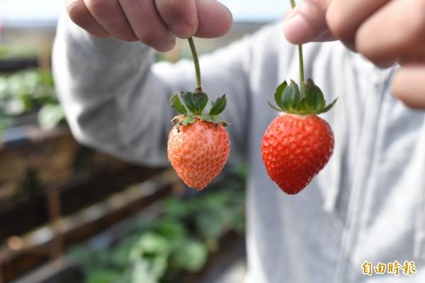 白草莓與一般草莓相比,顏色相當夢幻。(記者蔡宗憲攝)