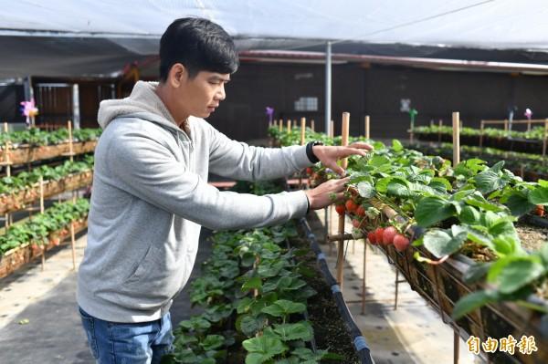 尤俊景在炎熱恆春半島種出白草莓。(記者蔡宗憲攝)