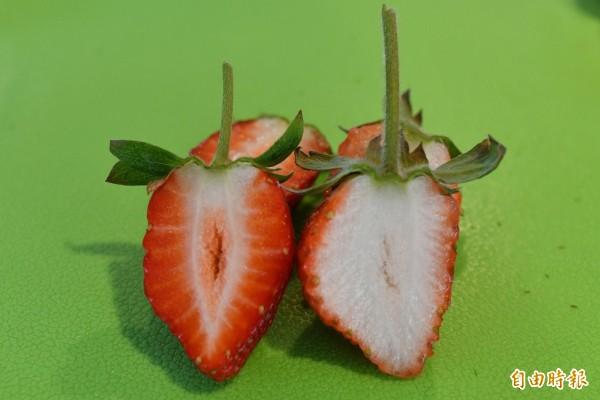 白草莓(右)連內在也比一般草莓(左)雪白。(記者蔡宗憲攝)