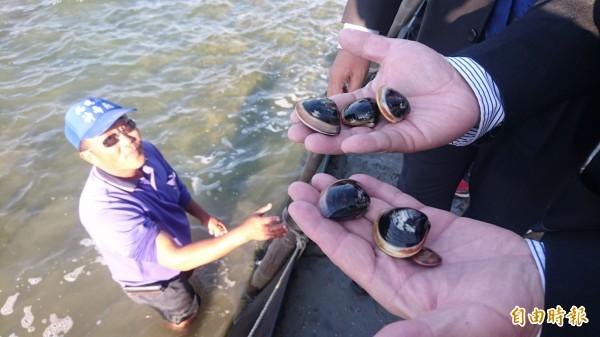文蛤池混養的虱目魚凍死後須注意文蛤有沒受影響。(記者楊金城攝)
