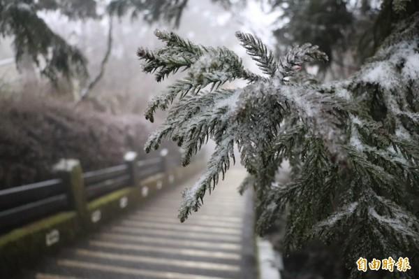太平山國家森林遊樂區瑞雪飄落,樹木枝芽也積著白雪。(記者林敬倫攝)