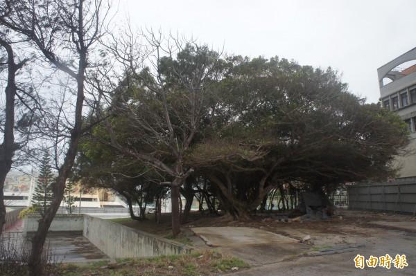 正式動工的澎湖多功能體育館,鄰近居民希望保留老樹群。(記者劉禹慶攝)
