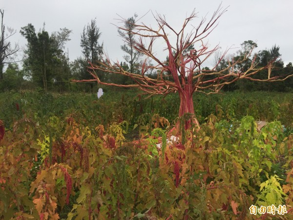 台東森林公園內有用紅藜稉打造的裝置藝術。(記者張存薇攝)