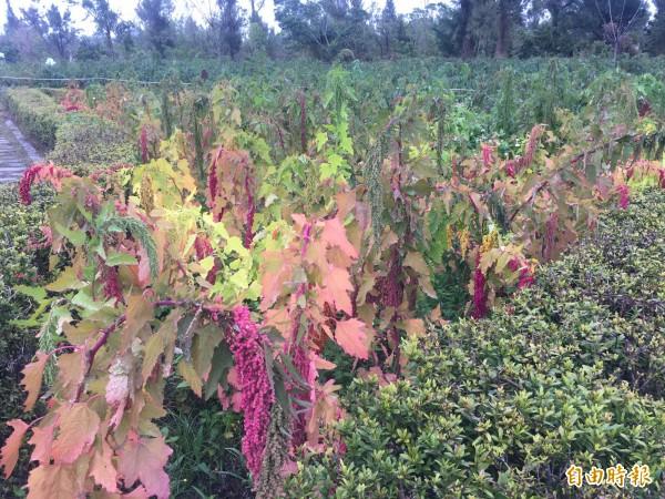 台東森林公園種了4分地紅藜。(記者張存薇攝)