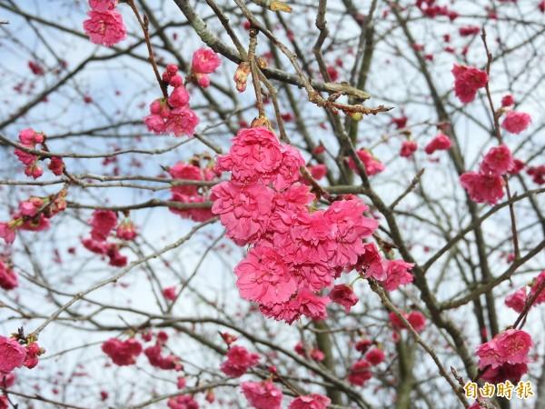 暨大櫻花林的重瓣櫻已開約4成。(記者佟振國攝)