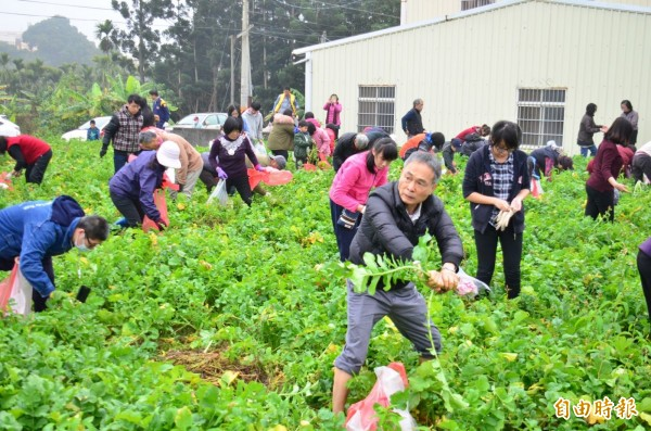 大人小孩在菜頭田裡認真拔蘿蔔。(記者陳鳳麗攝)