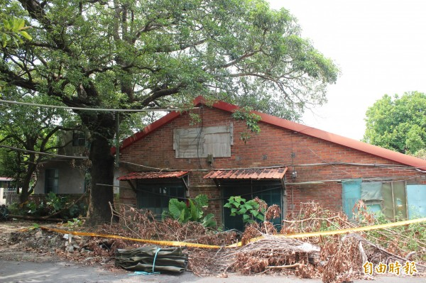 去年5月底移植前的新竹縣新埔鎮照門百年老茄苳樹,當時枝繁葉茂,樹形優美。(資料照,記者黃美珠攝)
