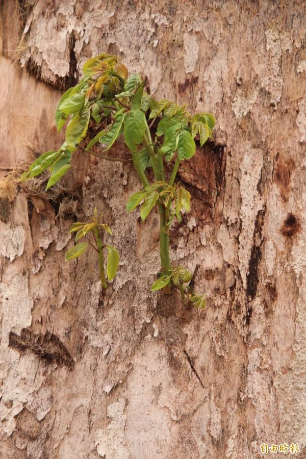 照門百年老茄苳樹身上最近長出、讓人心存期待的新芽,樹醫師李碧峰建議公所立刻用保鮮膜包覆主幹到芽眼下方進行搶救。(記者黃美珠攝)