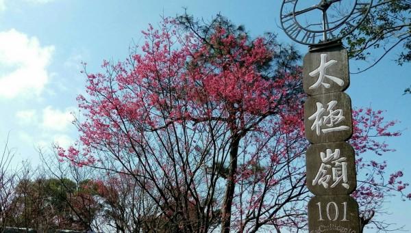新北市景觀處指出,從2月起至過年期間,適宜觀賞櫻花的地點包含土城區的太極嶺等地。(新北市景觀處提供)