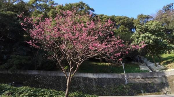 2月中下旬適合賞櫻的地點,包含中和區的烘爐地等地。(新北市景觀處提供)