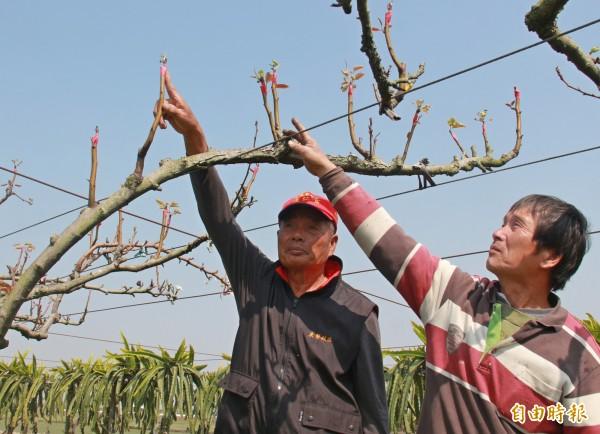 二林農民手指嫁接處,表示整排梨花因無法授粉,造成無法結果,損失慘重。(記者陳冠備攝)