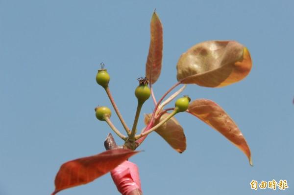 二林高接梨產區挺過寒流,授粉成功可結果的梨子屈指可數。(記者陳冠備攝)