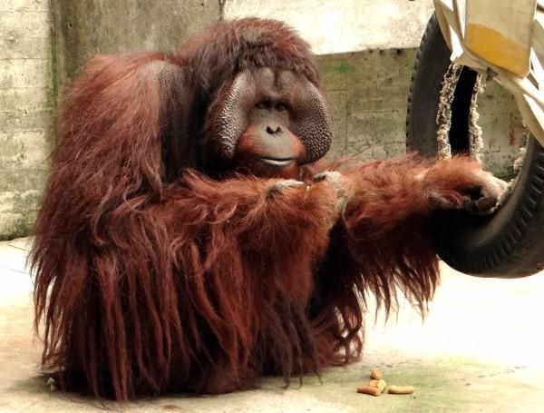 紅毛猩猩「艾迪」長的高大威猛,多年來只對「香妞」情有獨鍾。(台北市立動物園提供)