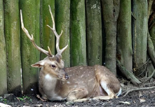 雄性的梅花鹿會利用頭上的角和競爭對手打架。(台北市立動物園提供)