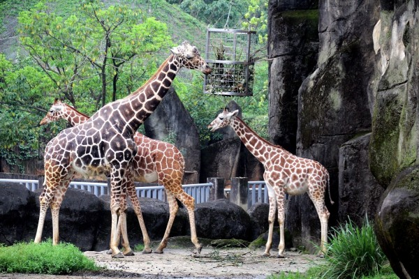長頸鹿則會用長長的脖子企圖將情敵驅趕出去。(台北市立動物園提供)