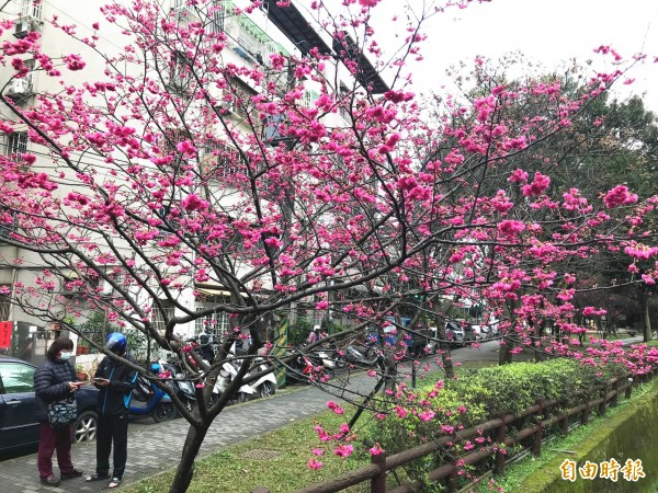 中壢區莒光公園的櫻花開得美不勝收。(記者李容萍攝)