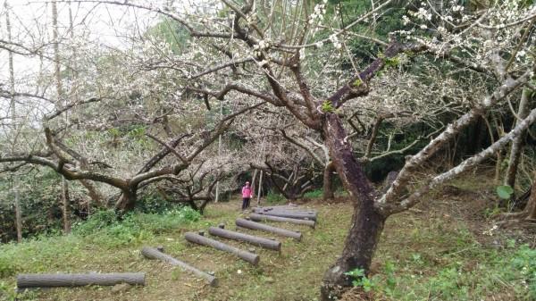 六義山步道梅花綻放。(屏林處提供)